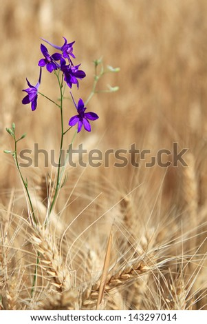 Fine violet flower among the ripened cones of wheat