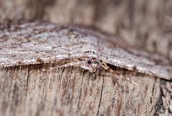 Fine-waved Bark Moth, Hughes, ACT, January 2021