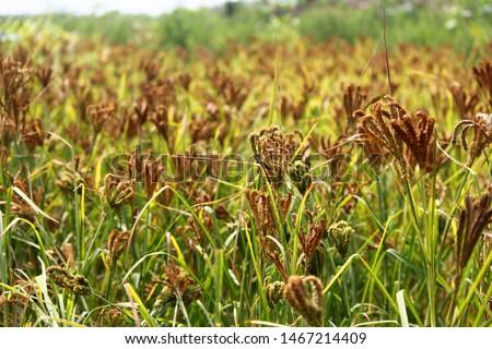 Finger Millet Crop Field (Ragi Field)