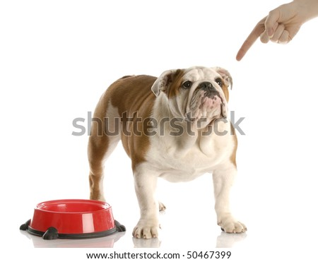 finger wagging at english bulldog puppy waiting to be fed with reflection on white background