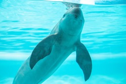 finless porpoise swimming in the pool