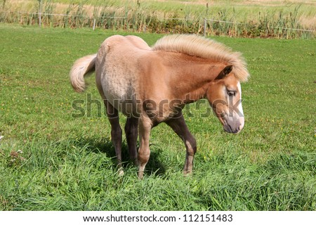 Finnhorse filly of cream palomino color on green meadow.