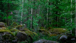 Finnish forest. Dense, impenetrable, green thicket of the forest. Large stone boulders overgrown with moss