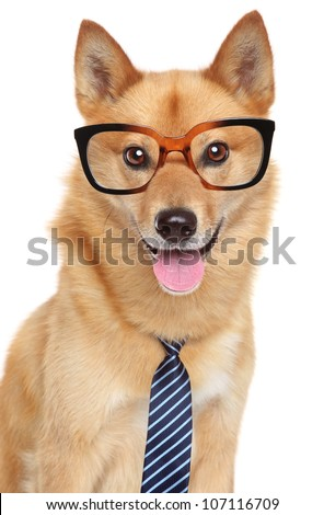 Finnish spitz dog (Karelian Finnish laika).  Funny portrait with glasses and tie on a white background