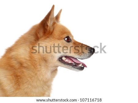 Finnish spitz dog (Karelian Finnish laika) side portrait, isolated on a white background - stock photo