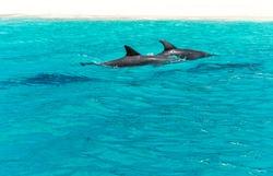 Fins of dolphins swimming in the sea, Zanzibar.
