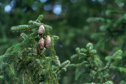 Fir branch, cones, coniferous forest. Blurred, bokeh, green background with copy space and place for text.