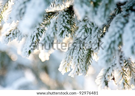 Fir branch covered with snow; winter landscape