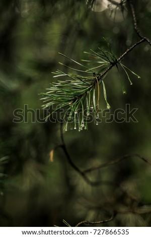 fir branch. Forest wallpaper