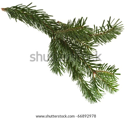 fir branch isolated on a white #66892978