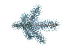 Fir branch of a silver fir isolated on a white background