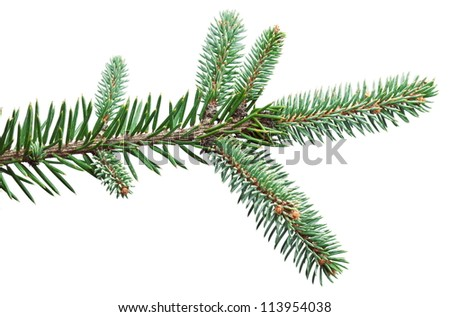 Fir branch on a white background.