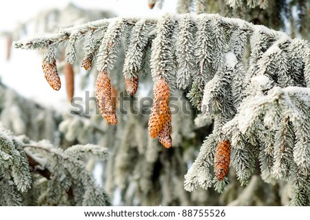 Fir branch with beautiful pine cones covered with frost. isolated