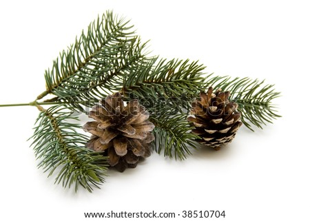 Fir branch with fir cones
