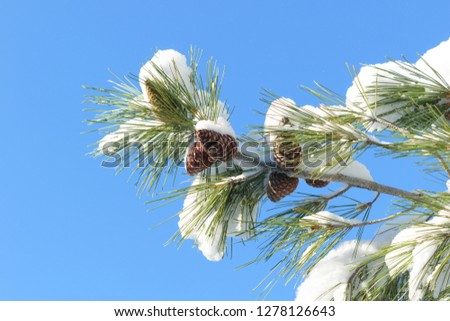 Fir branch with fir needles and pines covered in snow, blue sky background #1278126643