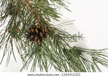 Fir branch with pine cone in the forest Christmas holidays #1242412321