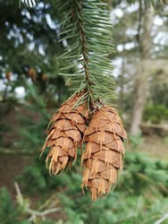 Fir branch with two hanging pine cones.