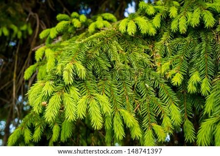 fir branches