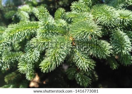fir branches and fir needles close-up #1416773081