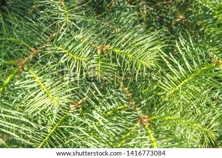 fir branches and fir needles close-up #1416773084