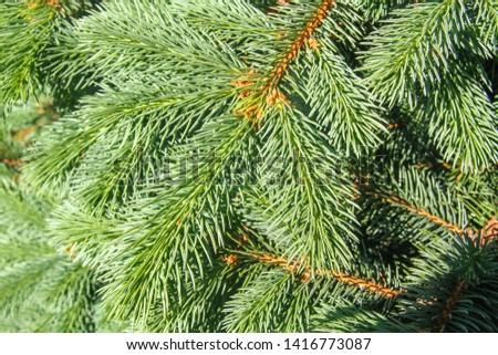 fir branches and fir needles close-up #1416773087