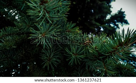 Fir branches blue spruce. Close up. Branches of blue spruce. Winter nature. Spruce needles. Fluffy Christmas tree. Blue spruce. 16:9 format