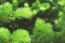 Fir branches green spruce in sunny forest. Close up. Branches of green spruce. Winter nature. Spruce needles. Fluffy fir branches. Christmas tree. Green spruce nature forest background.