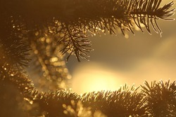 Fir branches in the sunny orange vintage light of dawn seem to frame the space for the text. Festive Christmas background in natural Christmas lights.  Winter sun rises between golden spruce branches.