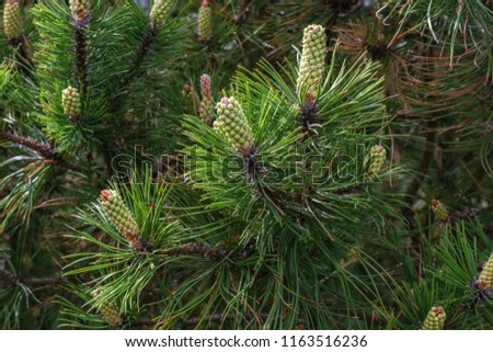 Fir branches with green needles and cones for use as a background. #1163516236