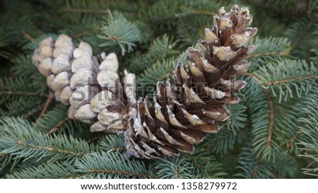 Fir cone of a fir tree, Brandenburg, Germany. #1358279972
