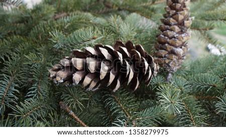 Fir cone of a fir tree, Brandenburg, Germany. #1358279975