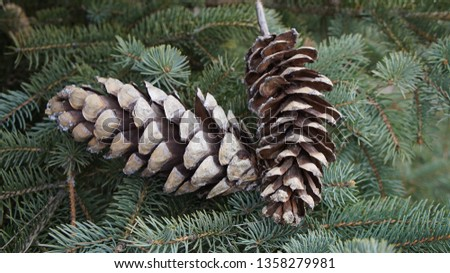 Fir cone of a fir tree, Brandenburg, Germany. #1358279981