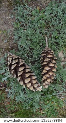 Fir cone of a fir tree, Brandenburg, Germany. #1358279984