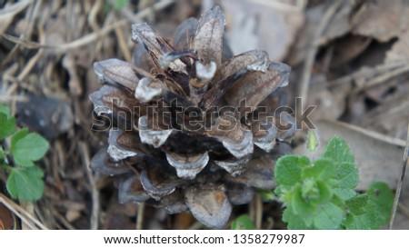 Fir cone of a fir tree, Brandenburg, Germany. #1358279987