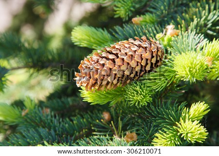 Fir cone on a branch. Coniferous tree. Forest of conifers. The needles on the branch. Green spruce, pine, fir. Resin on a lump. Evergreen trees.