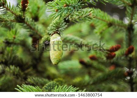 Fir cone on a green background of fir paws #1463800754
