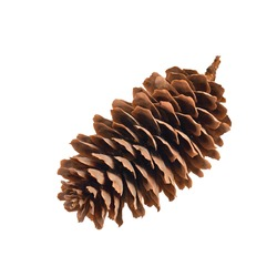 fir-cone on the white isolated background, simbol of the winter