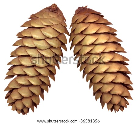 Fir cones, isolated on white. Clipping path.