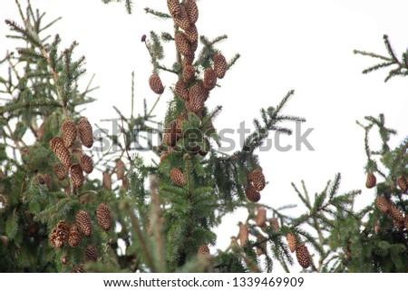 Fir cones  on fir tree brunch. #1339469909