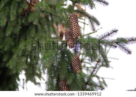 Fir cones  on fir tree brunch. #1339469912