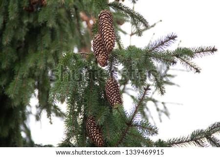 Fir cones  on fir tree brunch. #1339469915