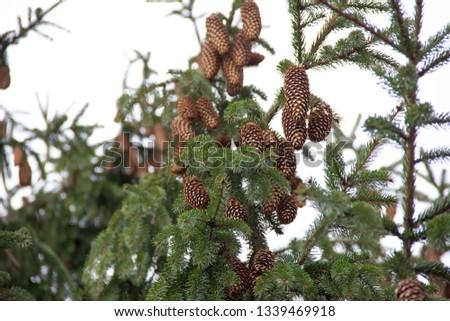 Fir cones  on fir tree brunch. #1339469918
