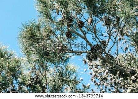 Fir or fir branches with cones in the forest against the blue sky. #1343795714
