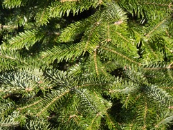Fir, pine, conifer evergreen tree twig with needles as abstract New Year, Christmas background for greeting card