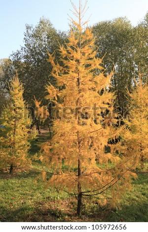 fir tree at autumn