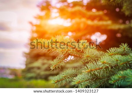 Fir tree branch close up. Spruce branches in the woods. Shallow focus. Fluffy fir tree branch close up. Christmas wallpaper concept. Copy space. #1409323127