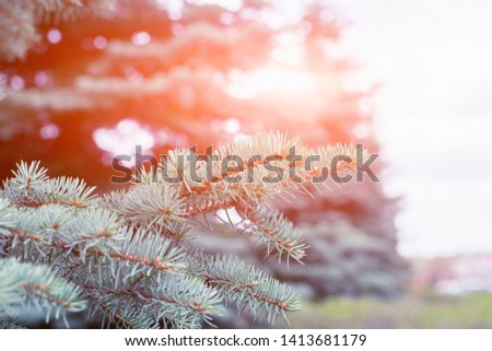 Fir tree branch close up. Spruce branches in the woods. Shallow focus. Fluffy fir tree branch close up. Christmas wallpaper concept. Copy space. #1413681179