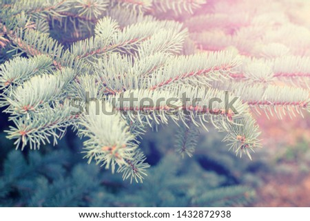 Fir tree branch close up. Spruce branches in the woods. Shallow focus. Fluffy fir tree branch close up. Christmas wallpaper concept. Copy space. #1432872938