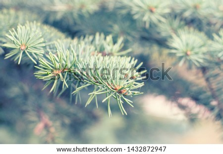 Fir tree branch close up. Spruce branches in the woods. Shallow focus. Fluffy fir tree branch close up. Christmas wallpaper concept. Copy space. #1432872947