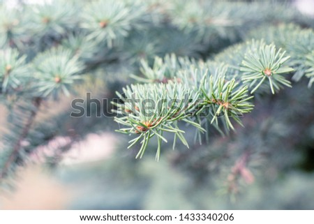 Fir tree branch close up. Spruce branches in the woods. Shallow focus. Fluffy fir tree branch close up. Christmas wallpaper concept. Copy space. #1433340206